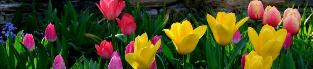Colorful spring tulips, representing spring cleaning your server