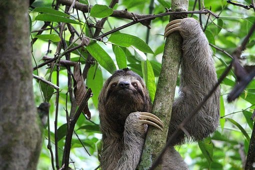 Sloth in a tree, symbolizing speeding up Microsoft Edge on Windows 10.